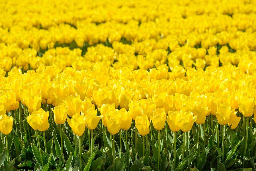 Geel tulpenveld van Sjoerd van der Wal