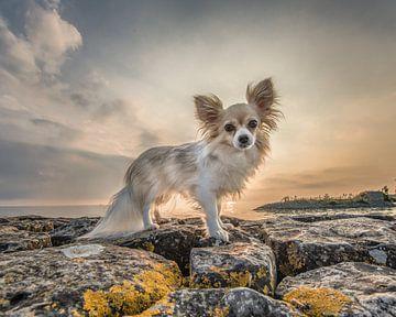 Kleine hond, chihuahua poseert tijdens zonsondergang op de pier van Laaxum, Friesland. van Harrie Muis