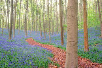 Pad door de hyacinten bloemen die groeien op de bosbodem in het Hallerbos van Sjoerd van der Wal