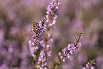 Honingbij op struikheide van André Dorst