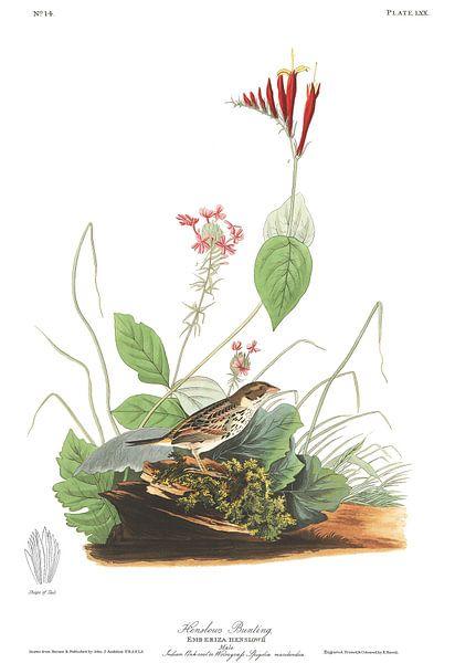 Henslows Gors van Birds of America