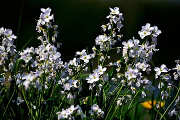 Pinksterbloemen van Arno-Jan Boere