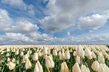 Weiße Zwiebelfelder mit Tulpen und Wolken im Polder von Fotografiecor .nl