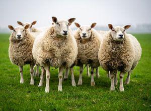 Schapen in de wei(sheep unit) van