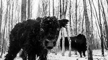 Pasgeboren zwart Hooglander kalfje van Sparkle King