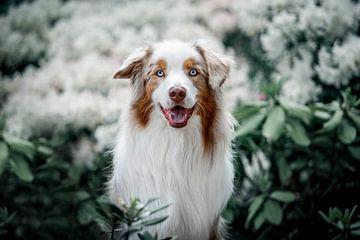Australian Shepherd tussen de hortensia's van Lotte van Alderen