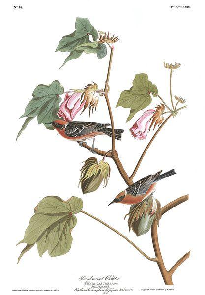 Kastanjezanger van Birds of America
