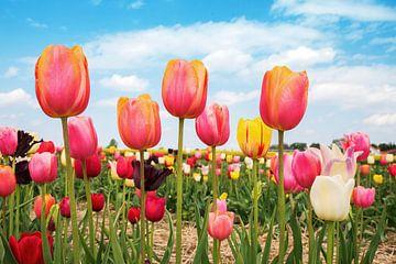 bunte Tulpen auf dem Feld von Susanne Bauernfeind