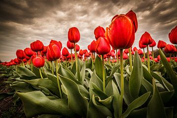 Tulipes - Rouge sur Edwin van Wijk