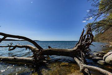 Boomstam aan de oever in de Goor, eiland Vilm, Lauterbach op Rügen van GH Foto & Artdesign
