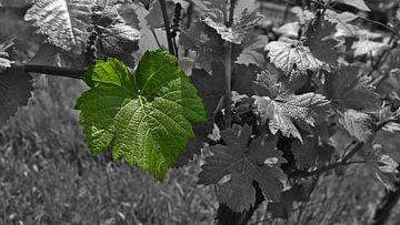 Schwarzweißaufnahme einer Weinrebe mit einzelnem koloriertem grünen Blatt von Timon Schneider