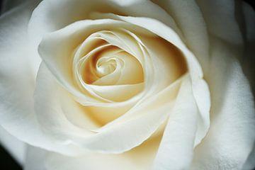 Nahaufnahme einer weißen Rose von Nicole