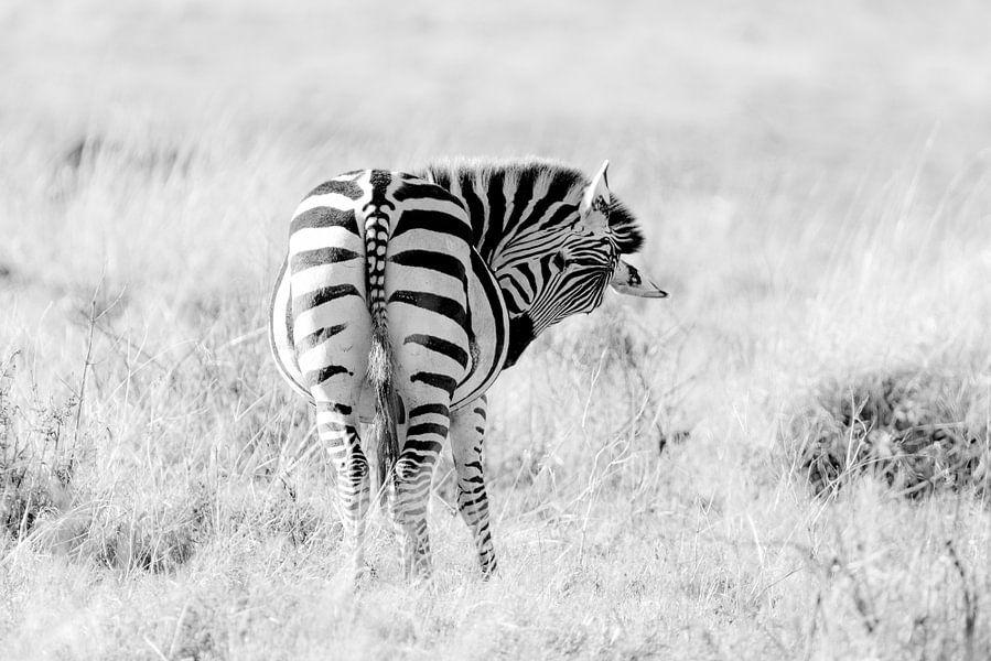 Zebra (zwanger) van Tom van de Water
