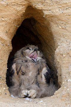 Eurasian Eagle Owl ( Bubo bubo ), young bird of prey, lying in the entrance of their nest burrow, ti van wunderbare Erde