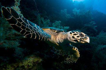karet schildpad von