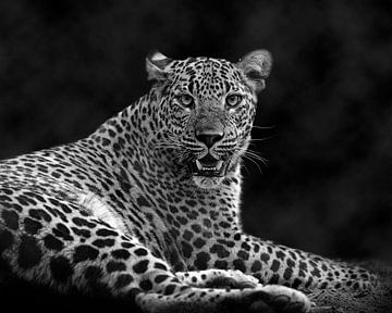 Panther im Nebel von Patrick van Bakkum