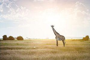 Massai Giraffe im Sonnenlicht