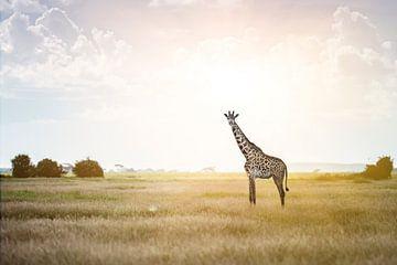 Massai-giraffe in het zonlicht van Alexander Schulz
