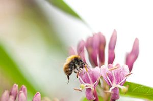 Bij vliegend naar een bloem. Foto betreft een macrofoto.