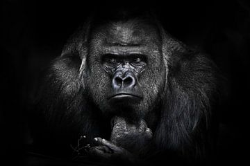Ein Gorillamännchen mit kräftigen Schultern, breiten Schultern und missmutigem Blick blickt ruhig un von Michael Semenov