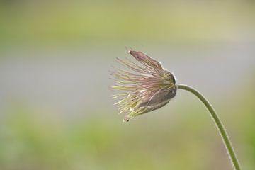 Schöne Blume. Aufgeblüht. Immer noch schön. von Klaas Dozeman