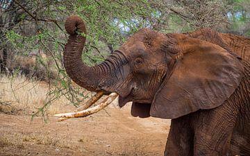 Afrikanischer Elefant von Stijn Cleynhens