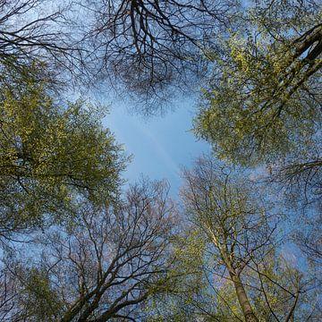 Baumkronen *Fagus sylvatica*, Buchen im Frühjahr von wunderbare Erde