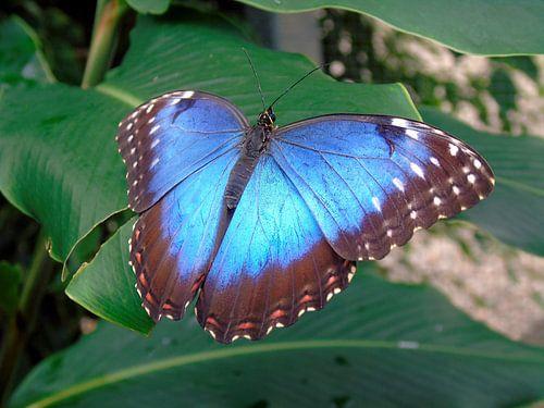 Tropische vlinder Tropical Butterfly (Collectie 2018) Morpho Peleides van