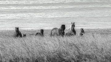 Islandpferde im Feld von Thomas Heitz