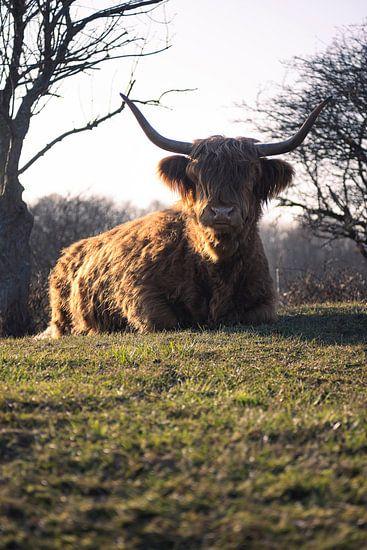Schotse Hooglander rust uit