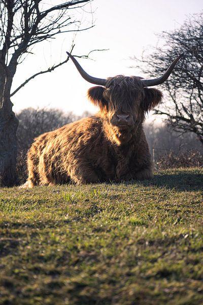 Schotse Hooglander rust uit van Thom Brouwer