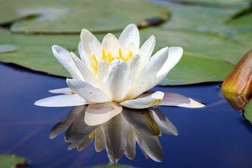 Witte waterlelie in het water met reflectie van Dennis van de Water