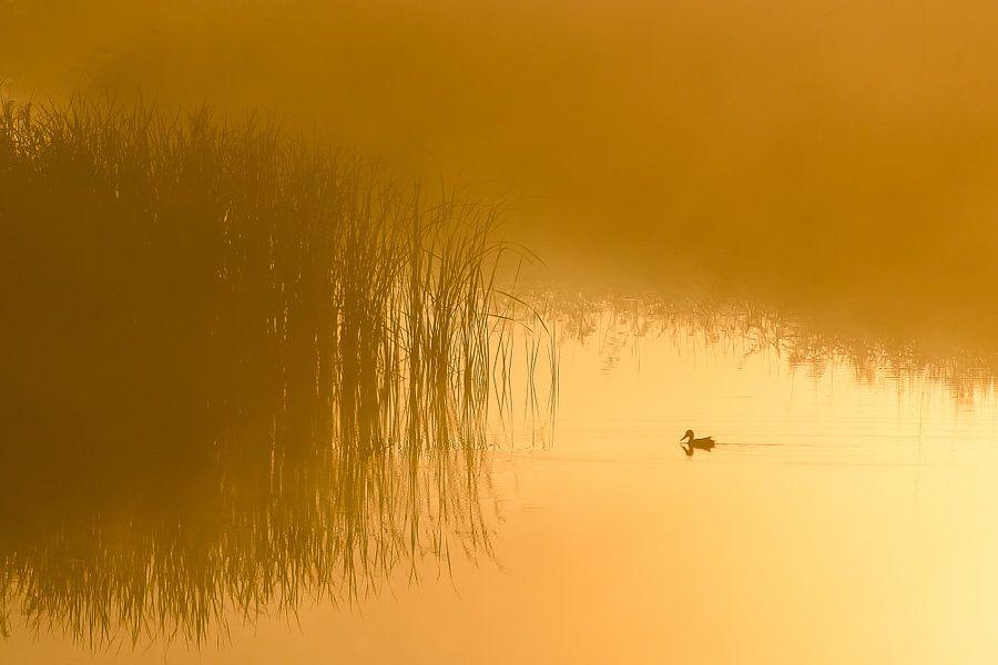 slobeend in de mist, Ente im Nebel, duck in the fog