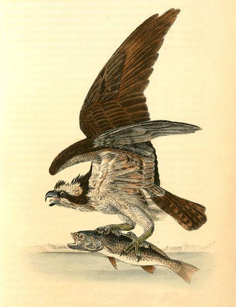 Havik, Common Osprey, Fish Hawk., Audubon, John James, 1785-1851 van Liszt Collection