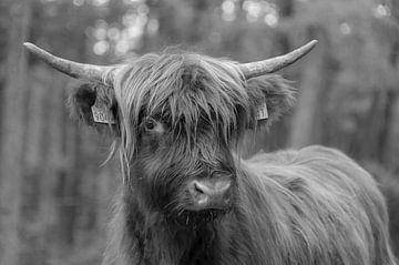 Schotse Hooglander portret van Ans Bastiaanssen