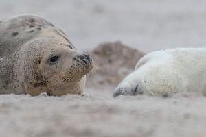 Wachsames Auge der Robbenmutter