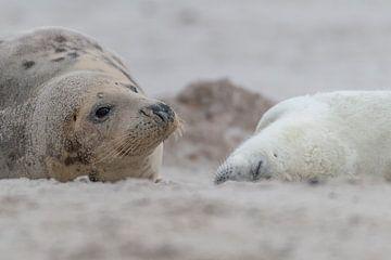 Waakend oog van moeder zeehond van Desirée Couwenberg