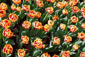 Ontluikende tulpen. van Fleksheks Fotografie