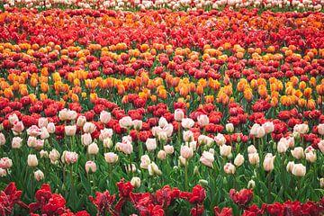 Veld vol met tulpen in allerlei kleuren van Simone Janssen