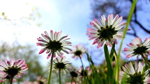 Gänseblümchen van Renate Dohr