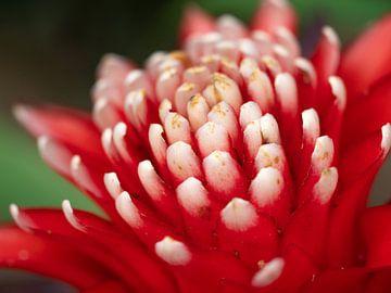 Mooie rood-wit gekleurde bloem. van Mariëtte Plat
