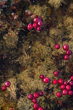 Drijvende Cranberries Vlieland (verticaal).