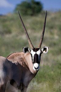 Oryx Close-up van Patries Photo