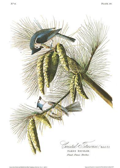 Tweekleurige Mees van Birds of America