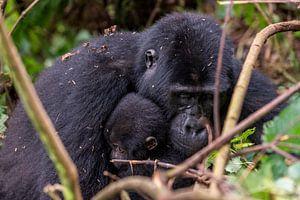 Afrikaanse berggorilla van