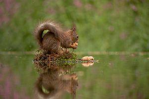 Eekhoorn met walnoot