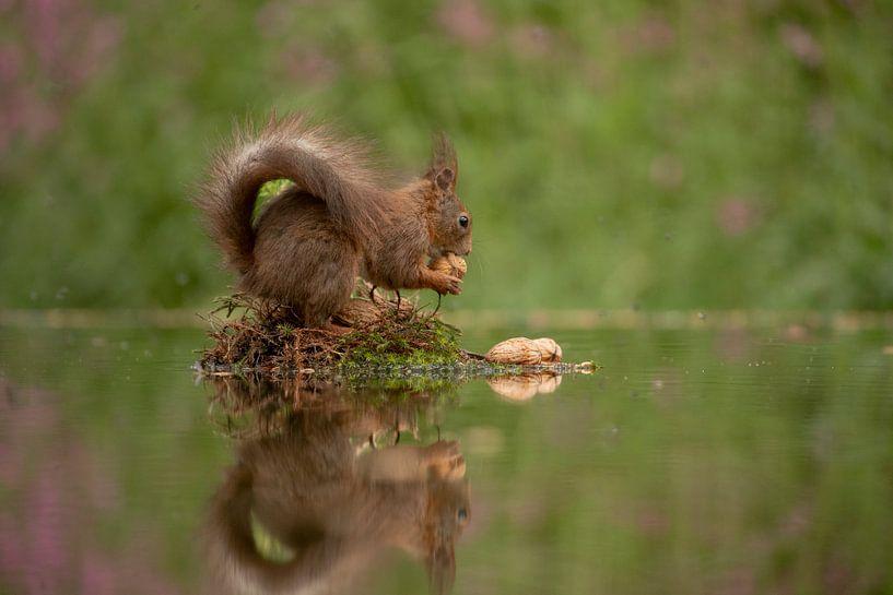 Eekhoorn met walnoot van Tanja van Beuningen