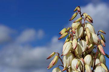 Witte bloemen van een palmboom voor een blauwe hemel van Ulrike Leone