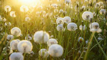 Paardenbloemen en ochtenddauw  van Dirk van Egmond