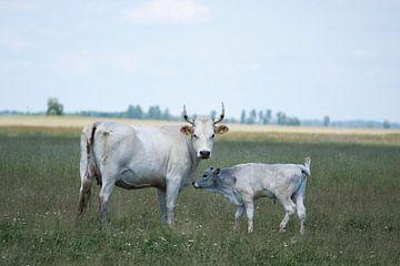 Hongaarse koe met kalf van